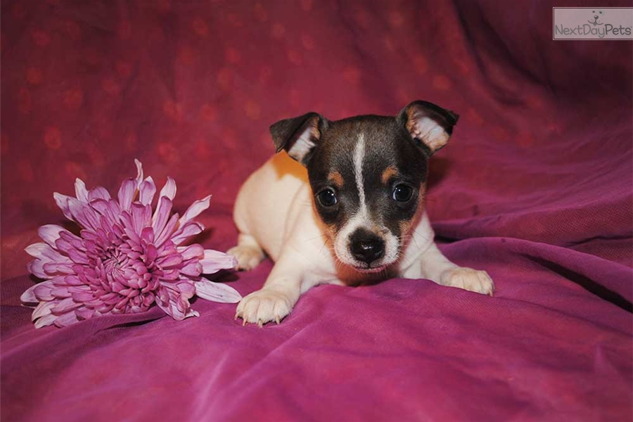 Plum Rat Terrier Puppy For Sale Near Gainesville Florida A0de769a