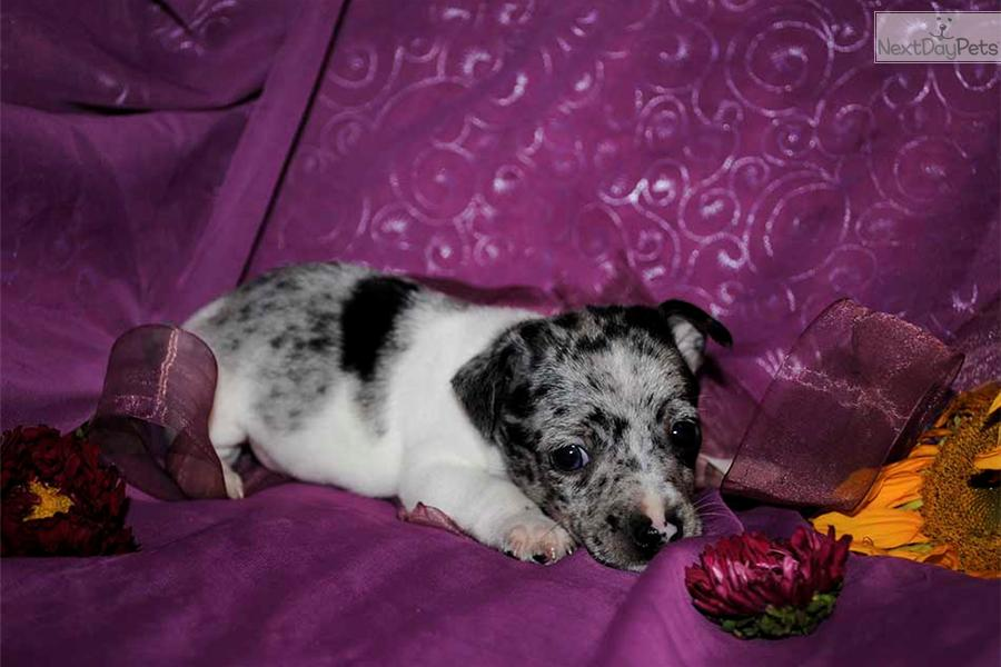 Eukanuba Puppy Food >> Meet Phlox a cute Rat Terrier puppy for sale for $700. Toy ...