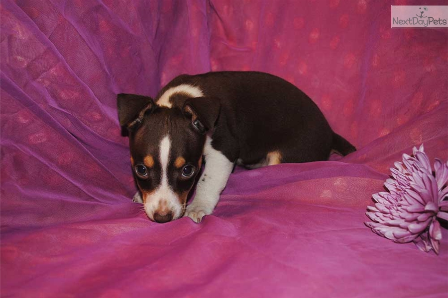 Baby Ruth Rat Terrier Puppy For Sale Near Gainesville Florida