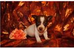 Cricket a tiny toy rat terrier | Puppy at 32 weeks of age for sale