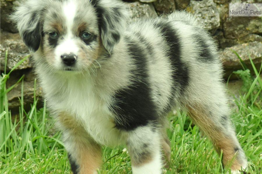 Tigger: Miniature Australian Shepherd puppy for sale near