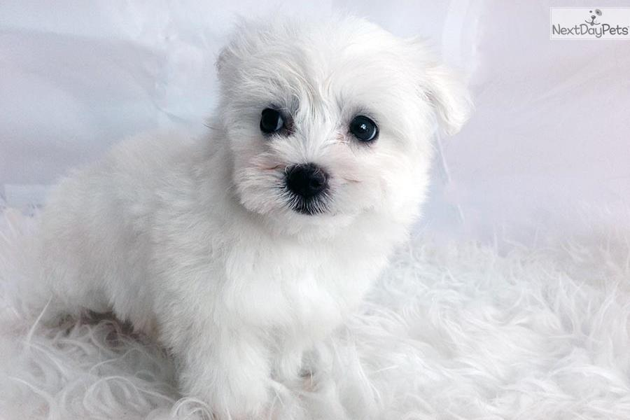 white teacup maltese dogs and puppies for sale and adoption oodle marketplace 1067