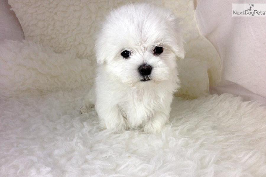 Donner Teacup Maltese Puppy Maltese Puppy For Sale