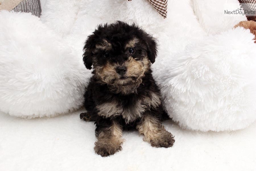 Malti Poo Maltipoo Puppy For Sale Near Los Angeles