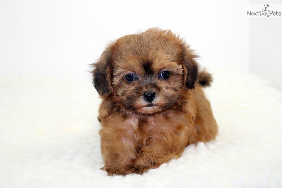 chocolate maltipoo puppies - photo #24