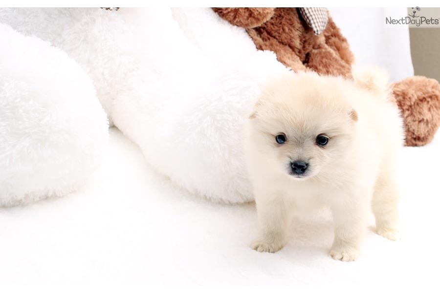 pomeranian groomer near me baby pomeranian puppy for sale near los angeles 6572