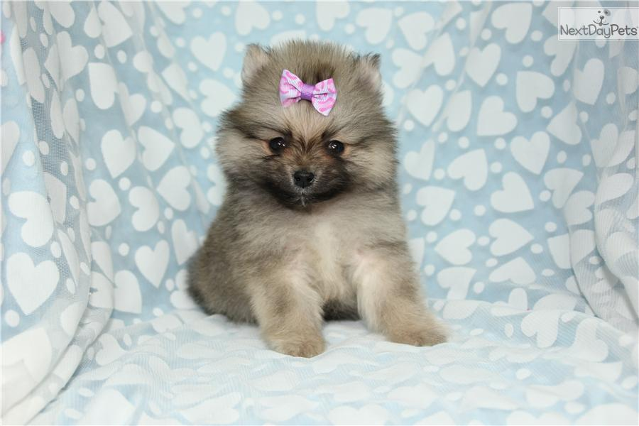 pomeranian california pomeranian puppy for sale near los angeles california 6684