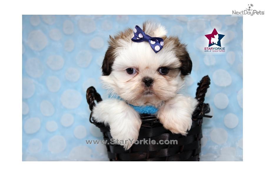 Shih Tzu Puppy For Sale Near Los Angeles California