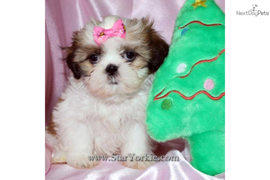 Shih Tzu puppy for sale near Los Angeles, California ...