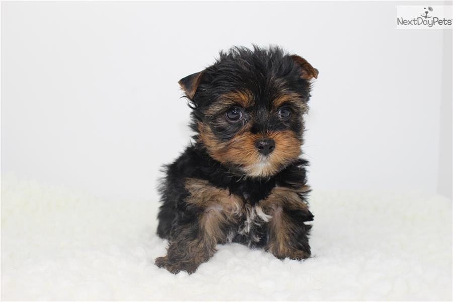 Yorkshire Terrier Yorkie Puppy For Sale Near Los Angeles