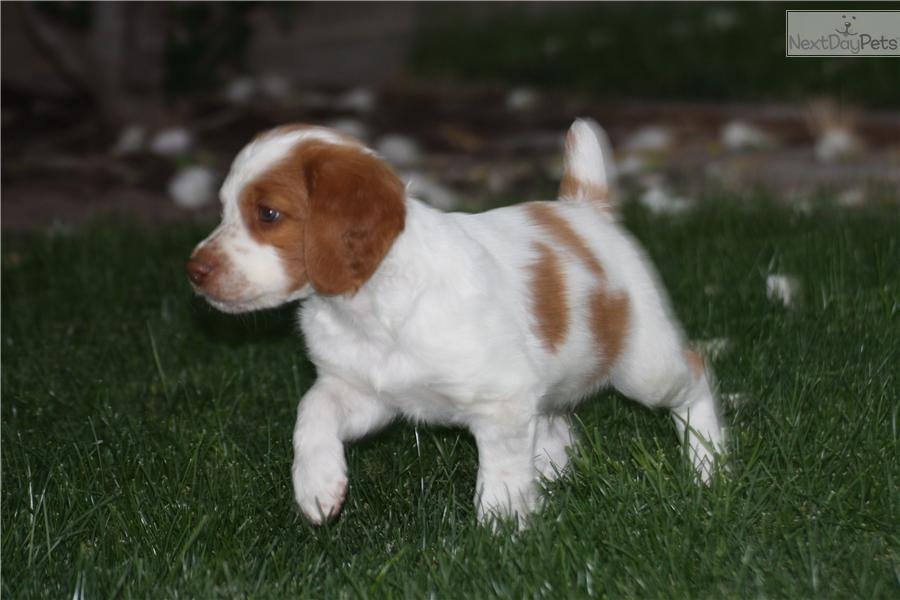Brittany Spaniel puppy for sale near Provo / Orem, Utah ...