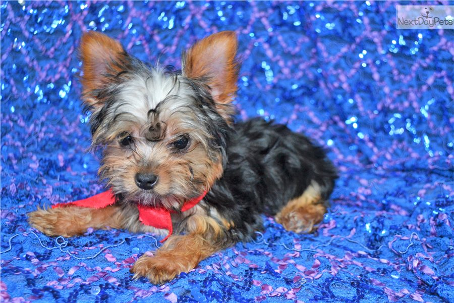 Learn These Yorkie Puppies For Sale East Texas {Swypeout}