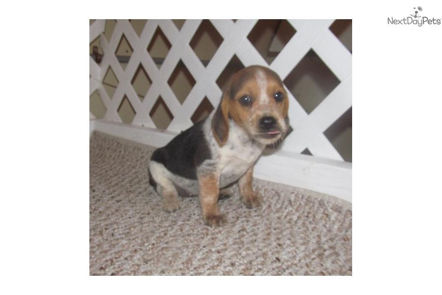 Dee Dee Beagle Puppy For Sale Near Dallas Fort Worth Texas