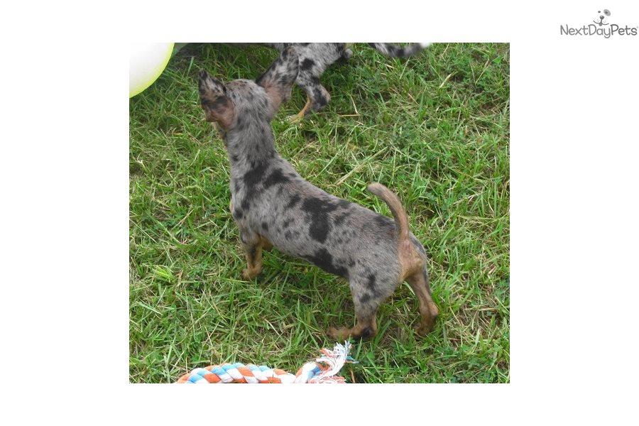Daxton: Chihuahua puppy for sale near Dallas / Fort Worth, Texas