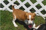 Picture of Xane - Adorable Chocolate Beagle Boy