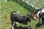 Picture of Buffy - Adorable Tri Color Beagle Girl