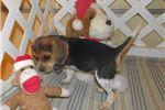 Picture of Hadley - Adorable Tri Color Beagle Girl