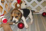 Picture of Heston - Adorable Tri Color  Beagle Boy