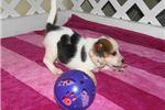 Picture of Bay Lea - Adorable Tri Color Beagle Girl