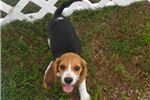 Picture of Shelly - Adorable Tri Color Beagle Girl