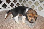 Picture of Daisy - Adorable Tri Color Beagle Girl