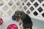 Picture of Jason - Adorable Tri Color Beagle Boy