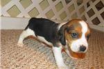 Picture of Mavis - Adorable Tri Color Beagle Girl