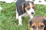 Picture of a Beaglier Puppy