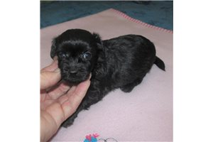 Chi Poo Chipoos for sale