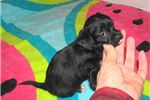 Picture of Cindy - Adorable Black Chi Poo Girl