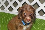 Picture of Rory - Adorable Chocolate ChiPoo Girl