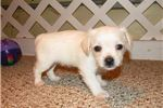 Picture of Lola - Adorable Cream ChiPoo Girl