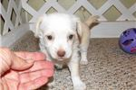 Picture of Larkin - Adorable Cream ChiPoo Girl
