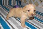 Picture of Lucky - Adorable Apricot ChiPoo Boy