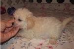 Picture of Leo - Adorable Cream ChiPoo Boy