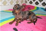 Picture of Daxton - Adorable Silver Dapple Chiweenie Boy