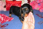 Picture of Johnna - Adorable Black LC Mini Dachshund Girl