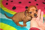 Picture of Peppy - Adorable Red  Chiweenie Boy