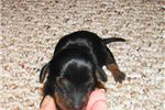 Picture of Stryker - Adorable Black/Tan Mini Dachshund Boy