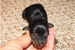 Picture of Shannon - Adorable Black/Tan Mini Dachshund Girl