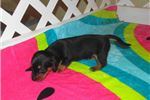 Picture of Diego - Adorable Black/Tan Mini Dachshund Boy