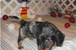 Picture of Quincy - Adorable Dapple LC Mini Dachshund Boy