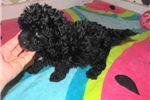 Picture of Luke - Adorable Black ChiPoo Boy