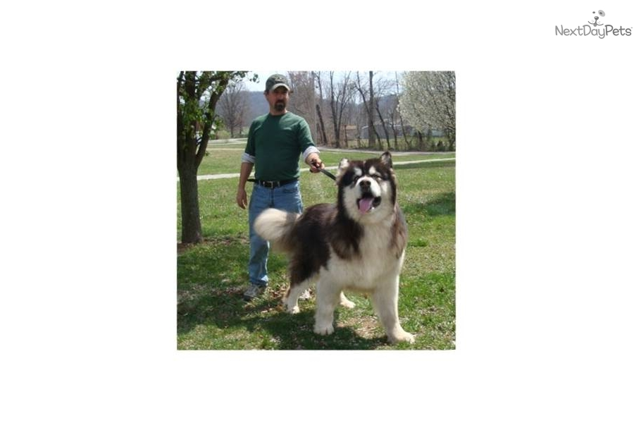 Puppies For Sale From Hudson S Huskies Malamutes Member Since July 2004