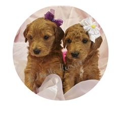 View full profile for Doodle Heaven Puppies