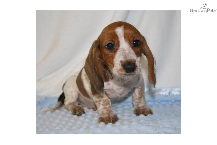 dachshund puppy for sale near jacksonville north carolina dachshund wire puppy for sale near jacksonville north 4617