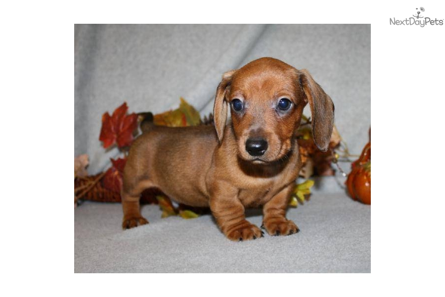 dachshund puppy for sale near jacksonville north carolina dachshund puppy for sale near jacksonville north carolina 9953