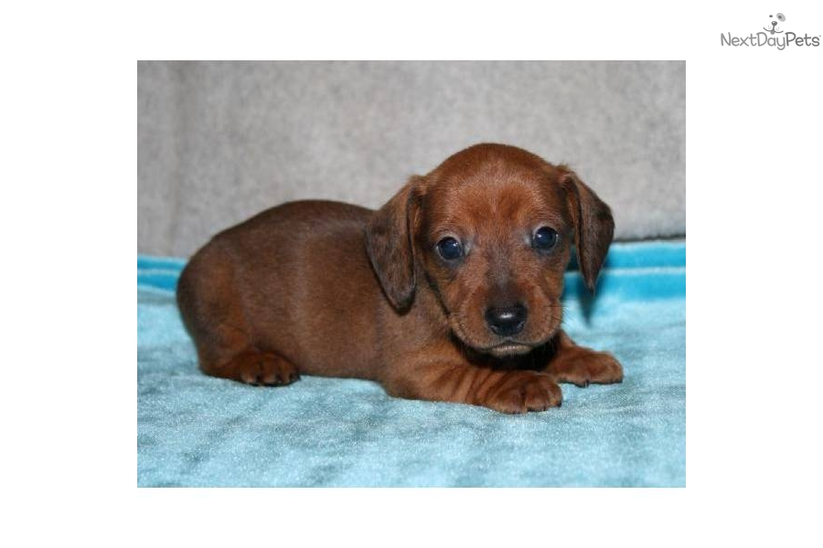 dachshund puppy for sale near jacksonville north carolina dachshund puppy for sale near jacksonville north carolina 7595