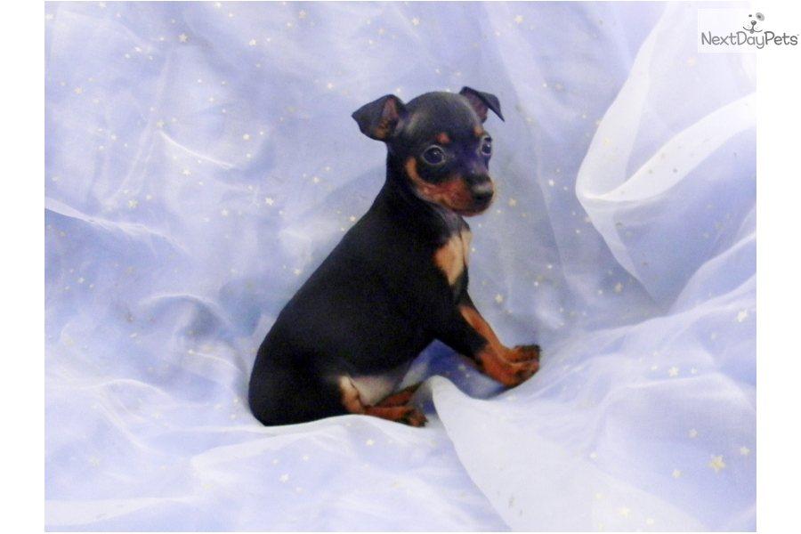 pin miniature pinscher pup - photo #43