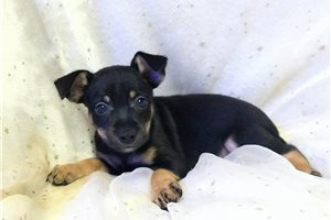 Picture of Rat Terrier Pups